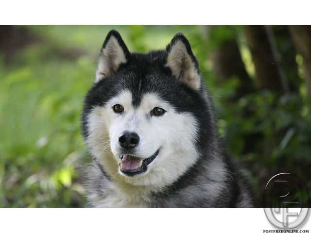 Siberian Husky Puppies For Sale At Best Price In Mumbai