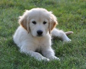 Yankee Golden Retriever Club Puppy Love Dogs Animals