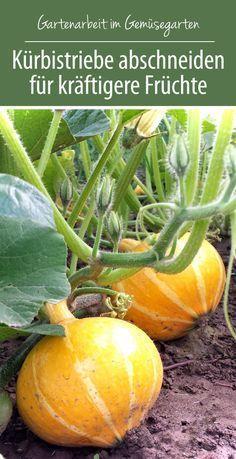 Kürbistriebe abschneiden für kräftigere Früchte