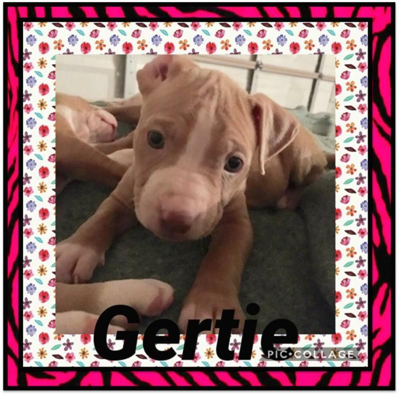 Gertie Is An Adoptable Staffordshire Bull Terrier Searching For A Forever Family Near Ringwoo Dog Adoption Staffordshire Bull Terrier