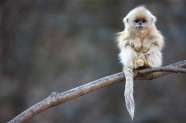 Qinling golden snub-nosed monkey in Chinas Qinling Mountains. Cyril Ruoso