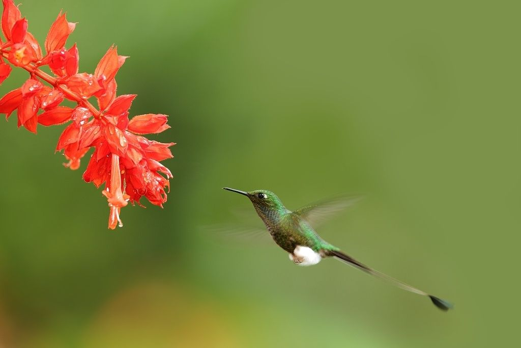 Booted Racket-tail  - Hummingbirds from Ecuador