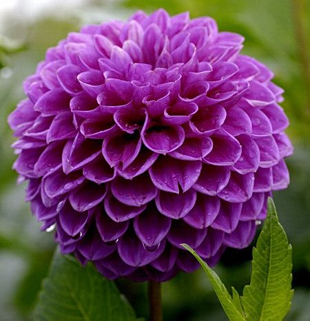 Dahlia Lilac Time Dinnerplate Type Beautiful Violet Colored Flowers And Is An Excellent Choice T Beautiful Flowers Most Beautiful Flowers Purple Flowers