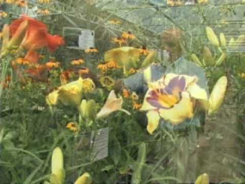 """Daylilies Offer Weeks of Bloom"""