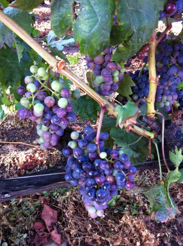 Multi colored grapes at Azofra Vineyard in Spain