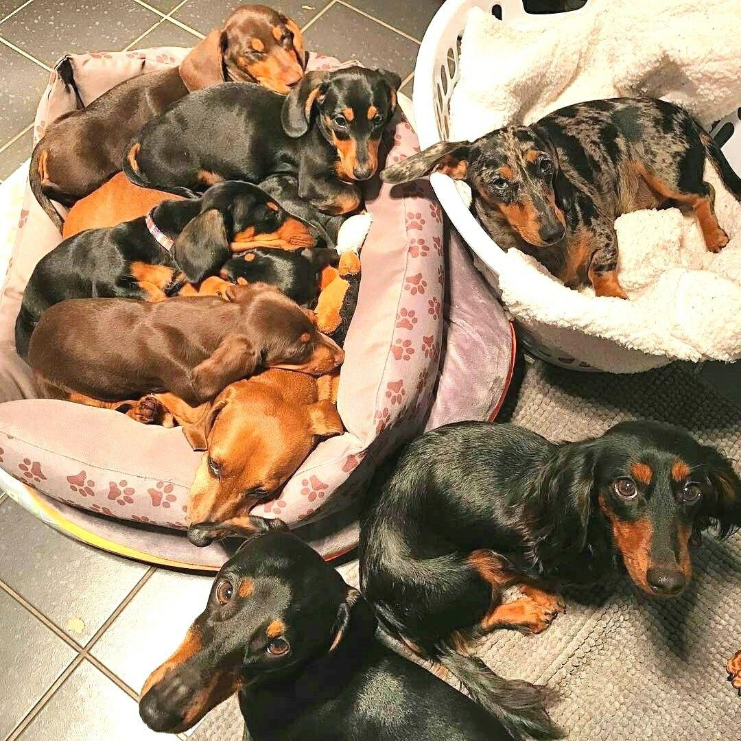 Pin By Melissa Breedlove On Dogs Dachshund Dog Dachshund Love