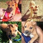 Missing Tan Staffordshire Puppy Smithfield Nsw 2164 Staffy Pups Losing A Dog American Staffordshire Terrier