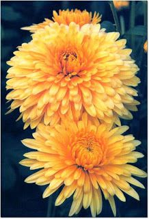 Chrysanthemum Tea Chrysanthemum Tea Flower Seeds Chrysanthemum