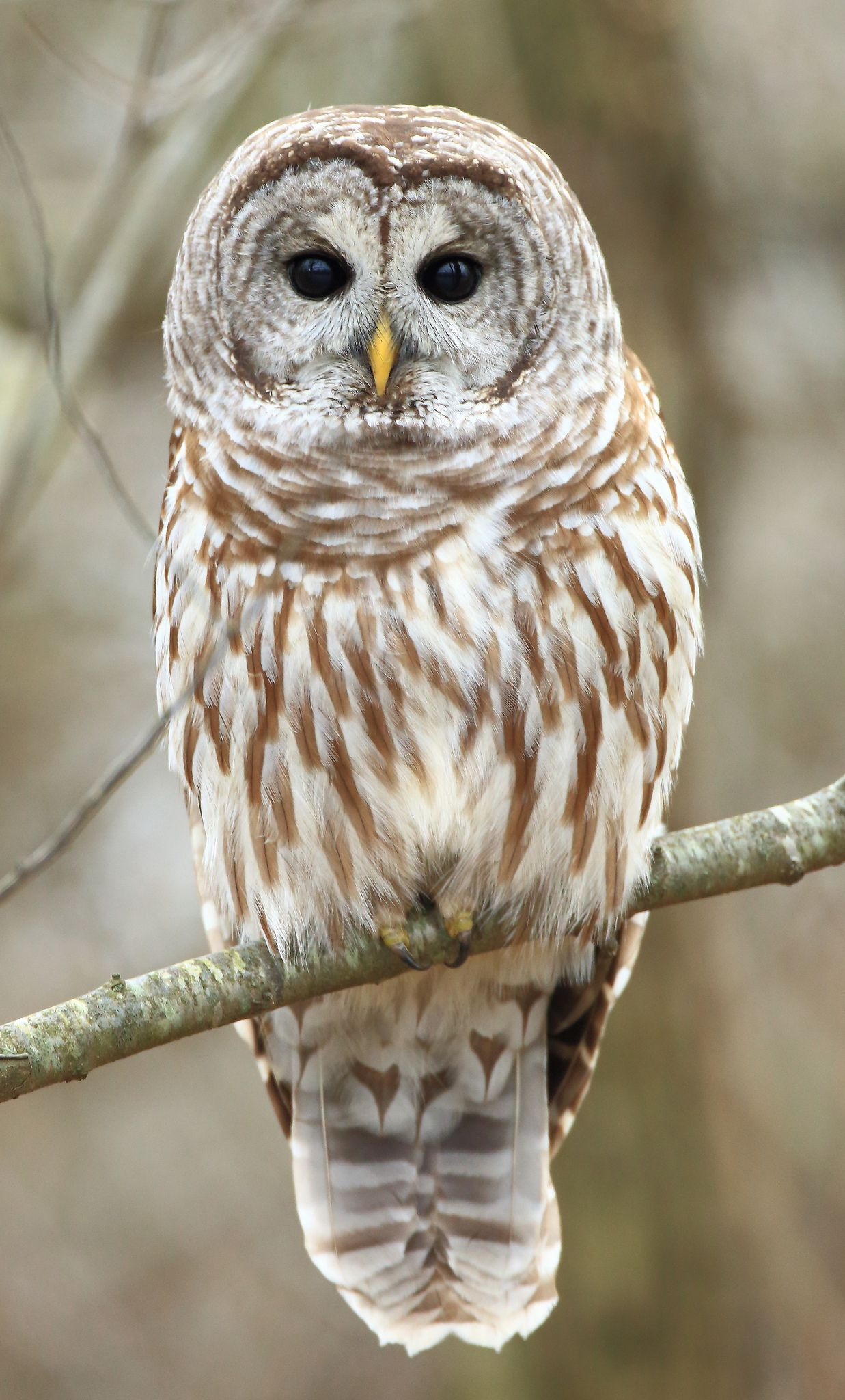 It is a graphic of Gratifying Barred Owl Drawing