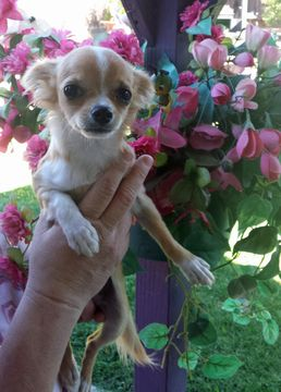 Chihuahua Puppy For Sale In Tacoma Wa Adn 46641 On Puppyfinder