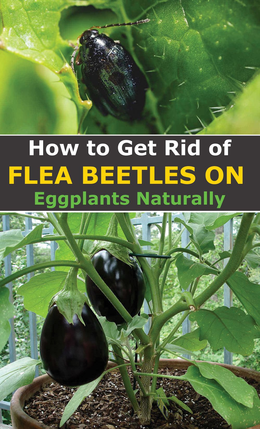 bbe867909443d5fbfc32a60498a1fd91 - How To Get Rid Of Flea Beetles In House