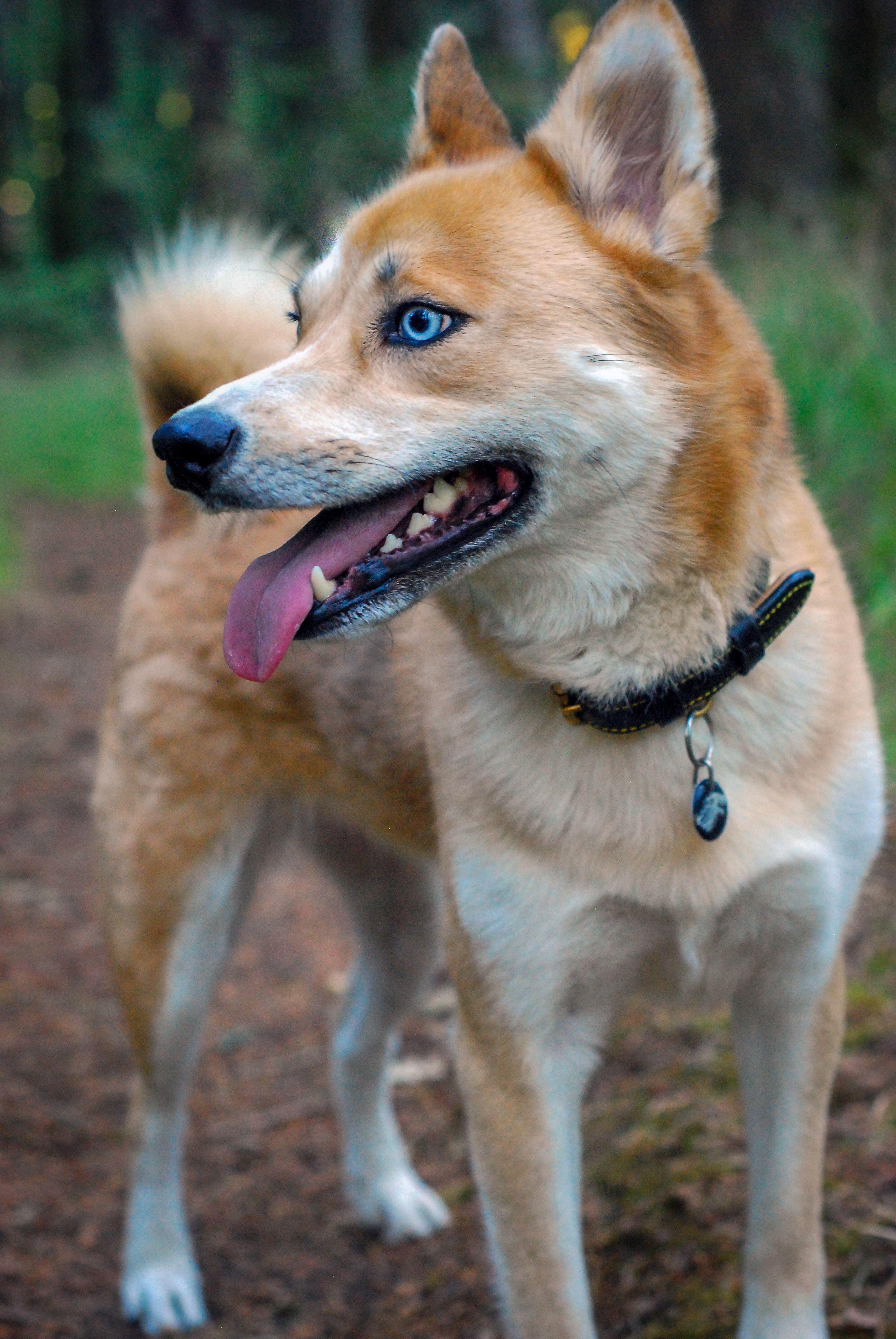 Dear Shiba Inu Husky Mix Puppy Dog Image Licensed From Shutterstock Credi Husky Mix Shiba Inu Husky