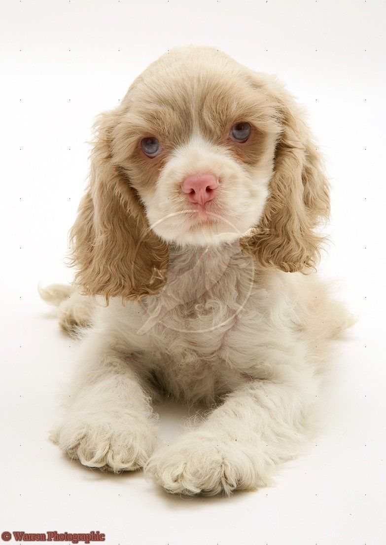 Lilac the americancockerspaniel aww pinterest american