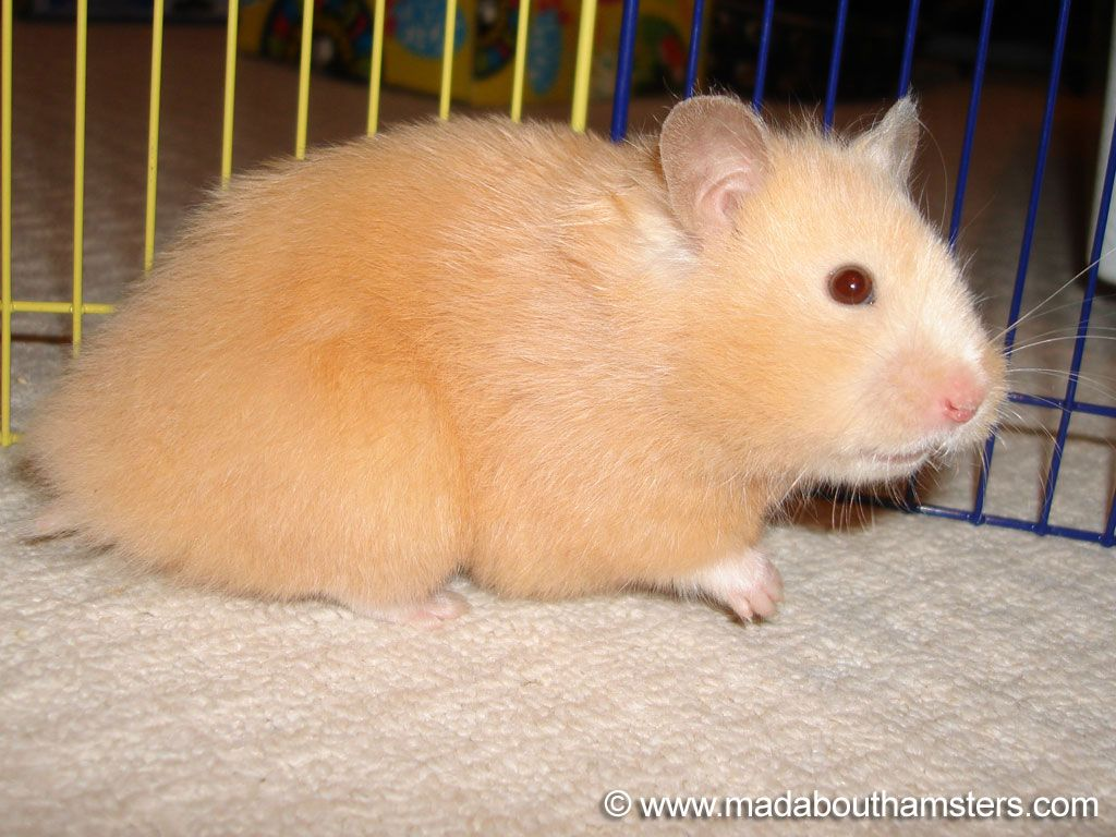 Long Haired Red Eyed Cream Female Syrian Hamster Hamster Cute Animals