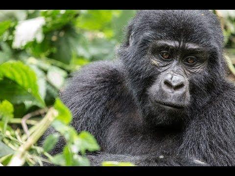 Unvergessliche Tierbegegnungen in Afrika: Zu den Berggorillas in Uganda | traveLink.