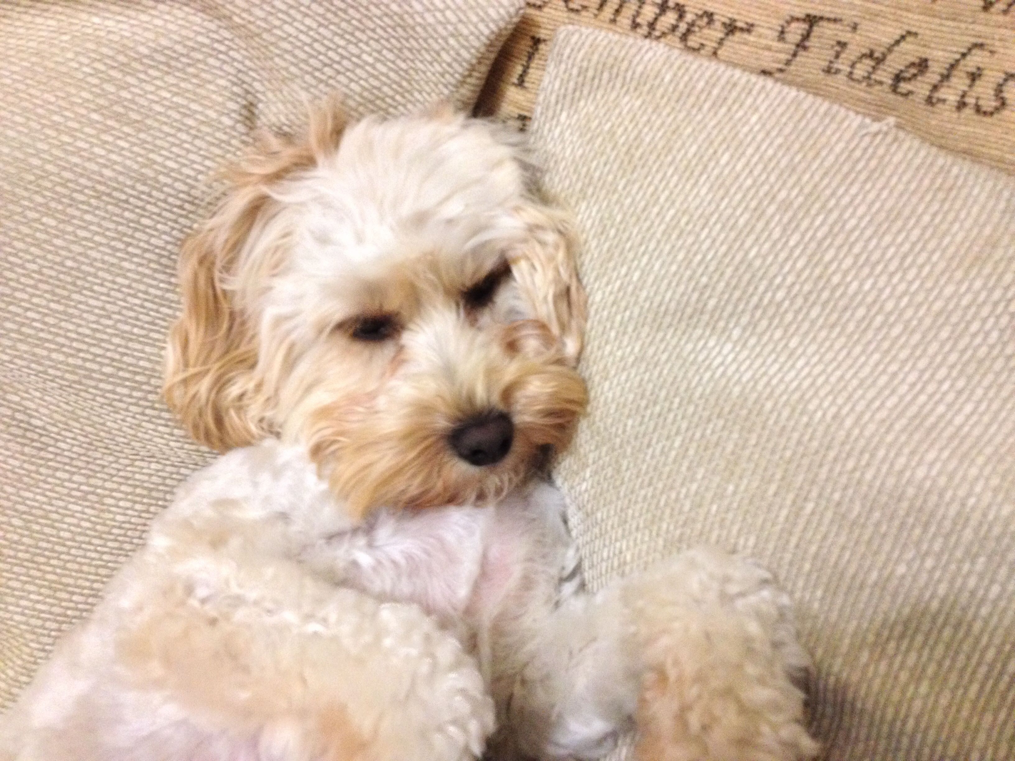 Tired Pooch Cavapoo Dogs Dogs Cavapoo
