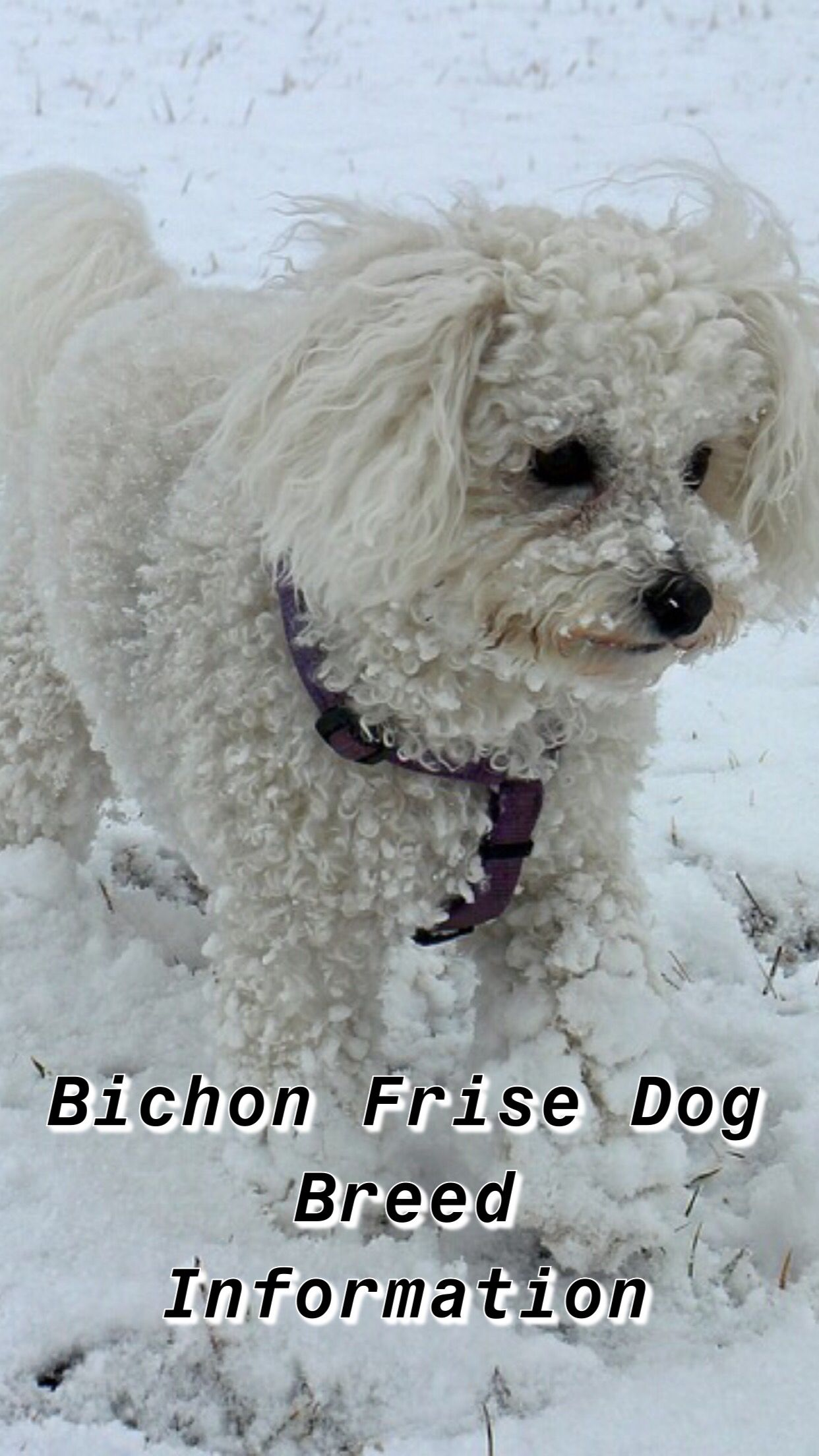 Ultimate Bichon Frise Breed Information Bichon Frise Dogs