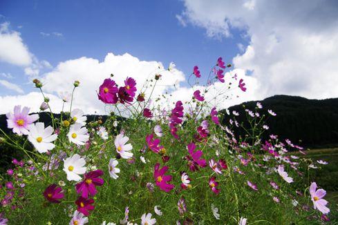 Cosmos Flowers In The Hakusan Region Of Japan Cosmos Flowers Cosmos Japanese Artists