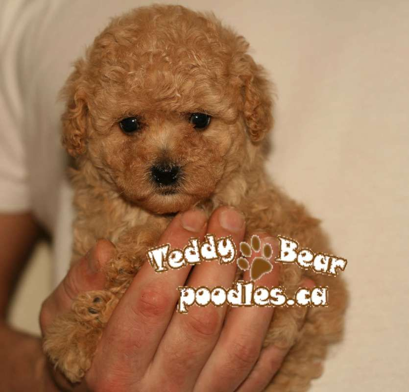 Micro Teddy Bear Puppies Tiny Teddy Bear Toy Poodle Puppies So Tiny And Cute Exqu Isite Teddy Teddy Bear Puppies Teddy Bear Teddy Bear Toys