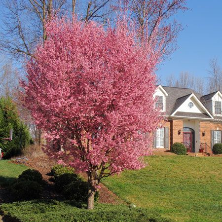 Kwanzan Flowering Cherry Trees For Sale Fast Growing Trees Fast Growing Trees Flowering Cherry Tree Growing Tree