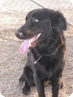 Portland Or Flat Coated Retriever Mix Meet Jasper A Dog For Adoption Http Www Adoptapet Com Pet 11490351 Flat Coated Retriever Pretty Dogs Dog Adoption