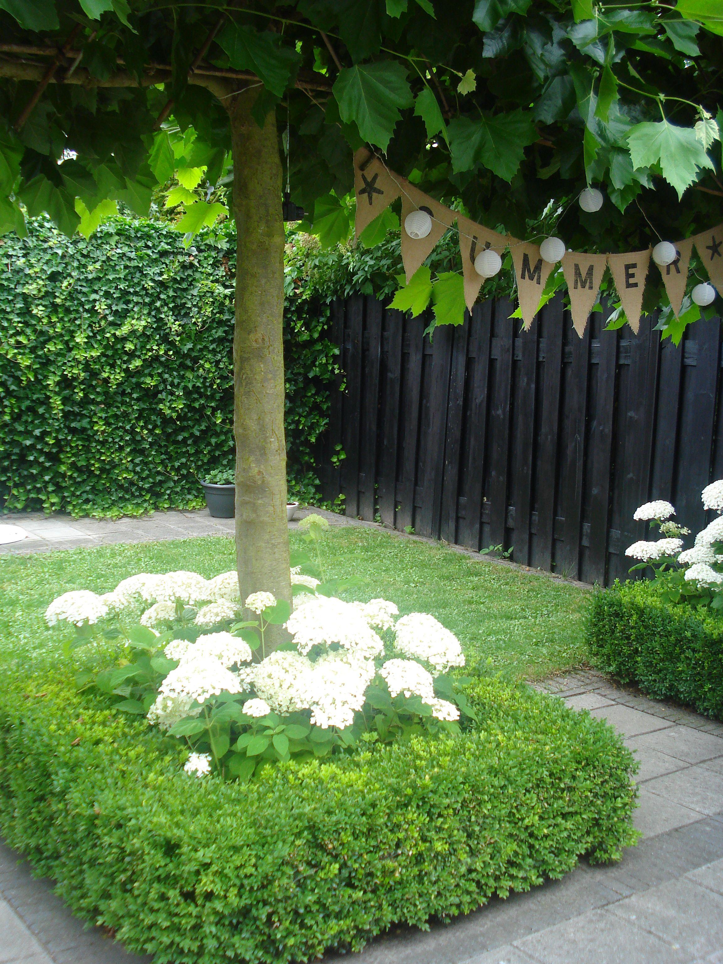 Kugelahorn mit hortensien
