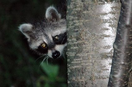How To Prevent And Get Rid Of Raccoons Getting Rid Of Raccoons