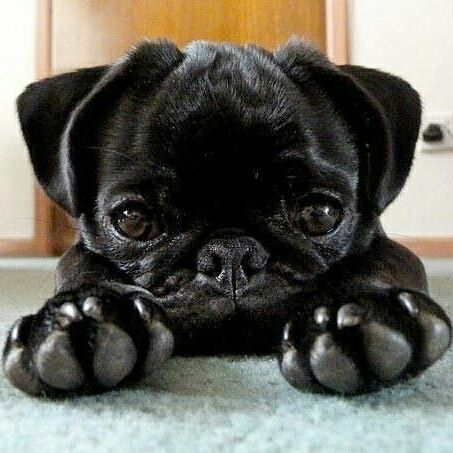 Join the Pugs has thousands of cute Pug photos to share!