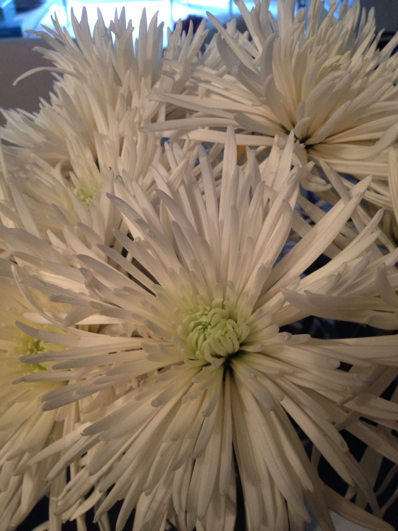 White Spider Mums Chrysanthemums Victorian Meaning Truth Abundance Wealth Cheerfulness You Re A Wonderful Friend Types Of Flowers Flowers Spider Mums