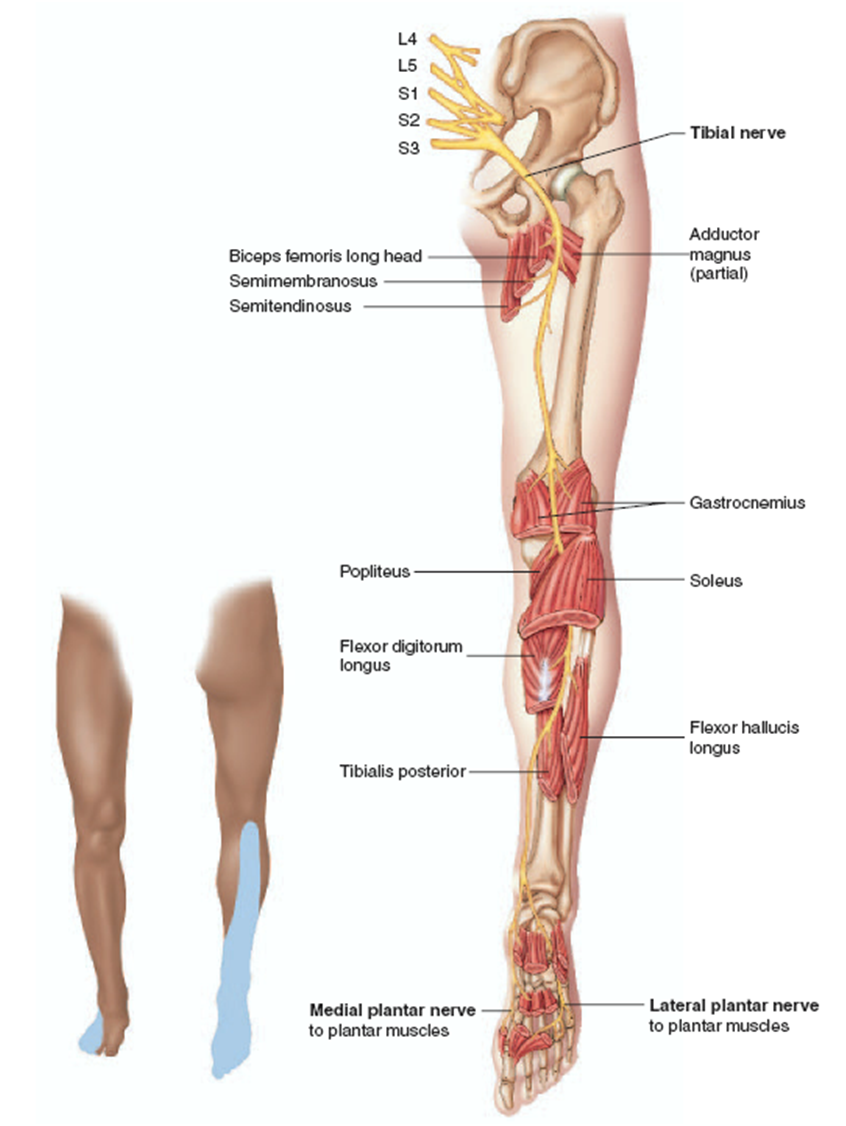 anatomy+of+the+thigh+and+hip | sheath for the length of the thigh b ...