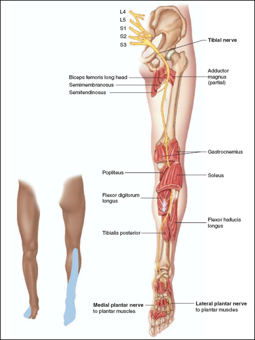 Anatomyofthethighandhip Sheath For The Length Of The Thigh