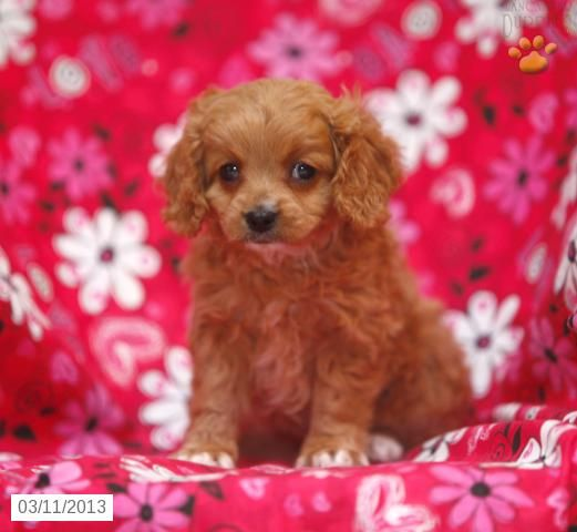 Sophia Cavapoo Puppy for Sale in Ephrata, PA Cavapoo