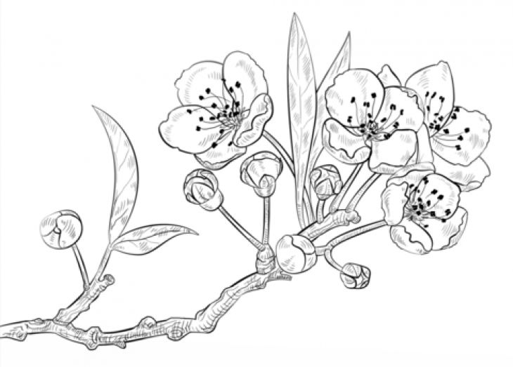 cherry blossom online coloring sheet for young children
