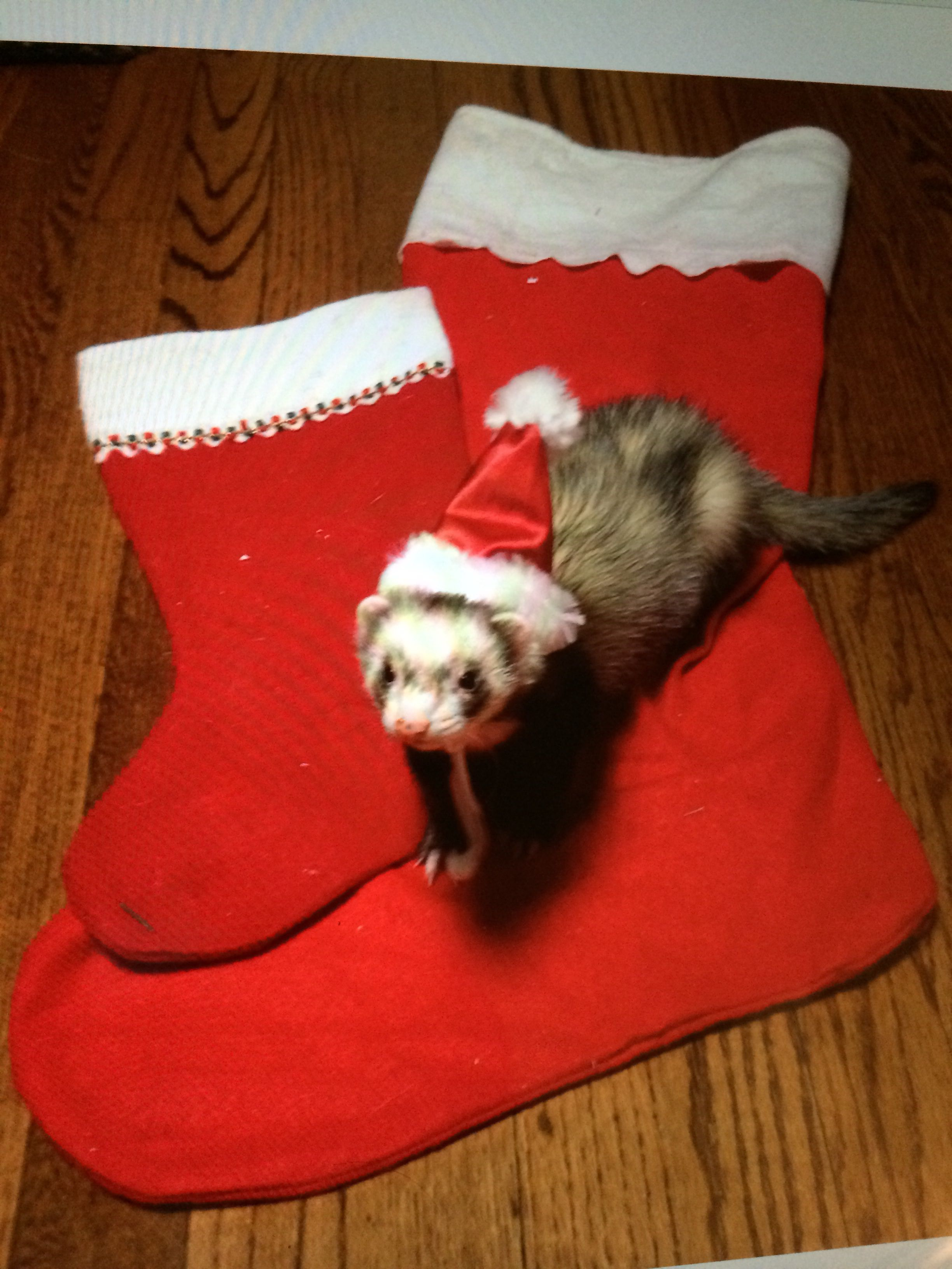 Christmas Ferret.Merry Christmas Ferret Ferrets My Small Business