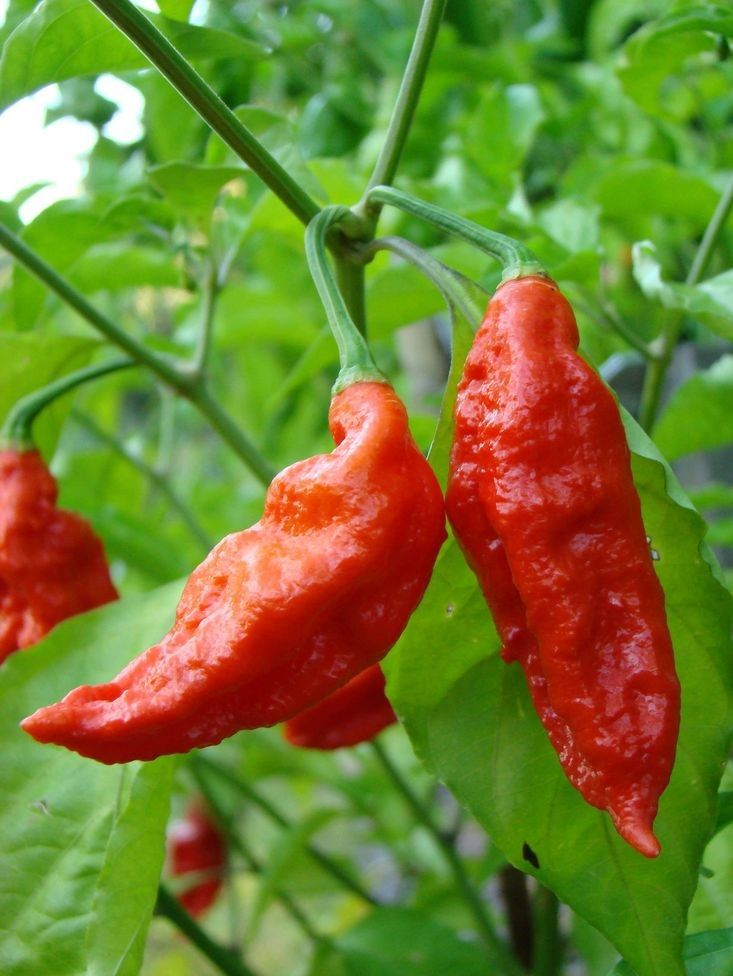 50 organic Fresh RARE VERY HOT RED Super PETER PEPPER SEEDS