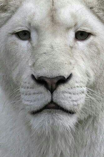 The masterful white  lion.