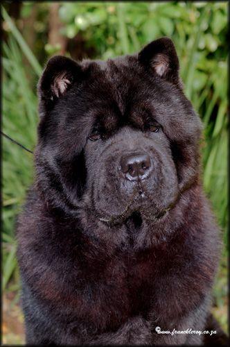 Black Smooth Chow Chow Zac Doggy Labrador Retriever