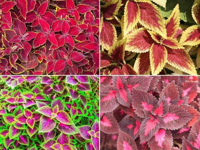 Coleus Plants [HOW TO] Grow, Care For and Use Colorful