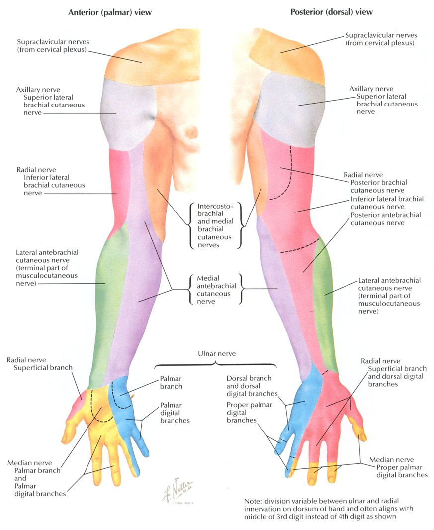 upper extremity peripheral nerves netter - Google Search | PTA ...