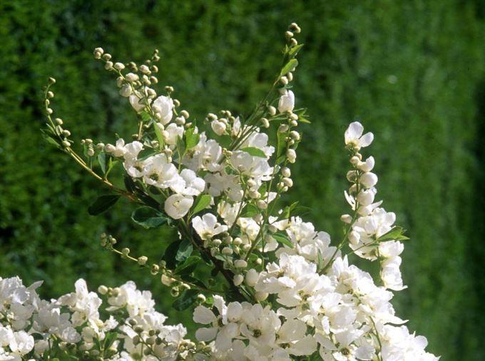 små blommande buskar