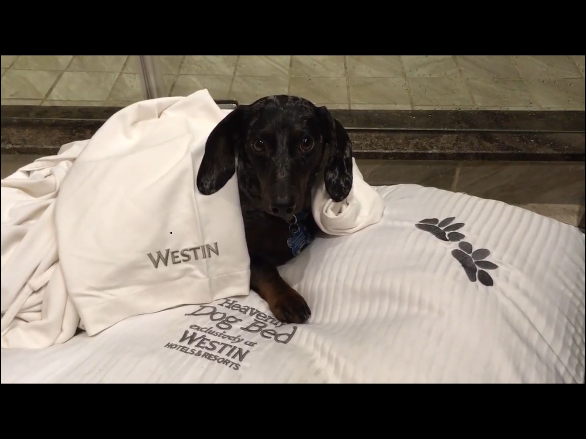 My Sweet Cocoa Being Pampered At The Westin Nashville Pup Dachshund Cocoa