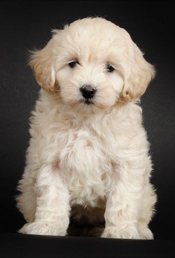 Tinygoldendoodles Goldendoodle Puppy For Sale Animals Micro