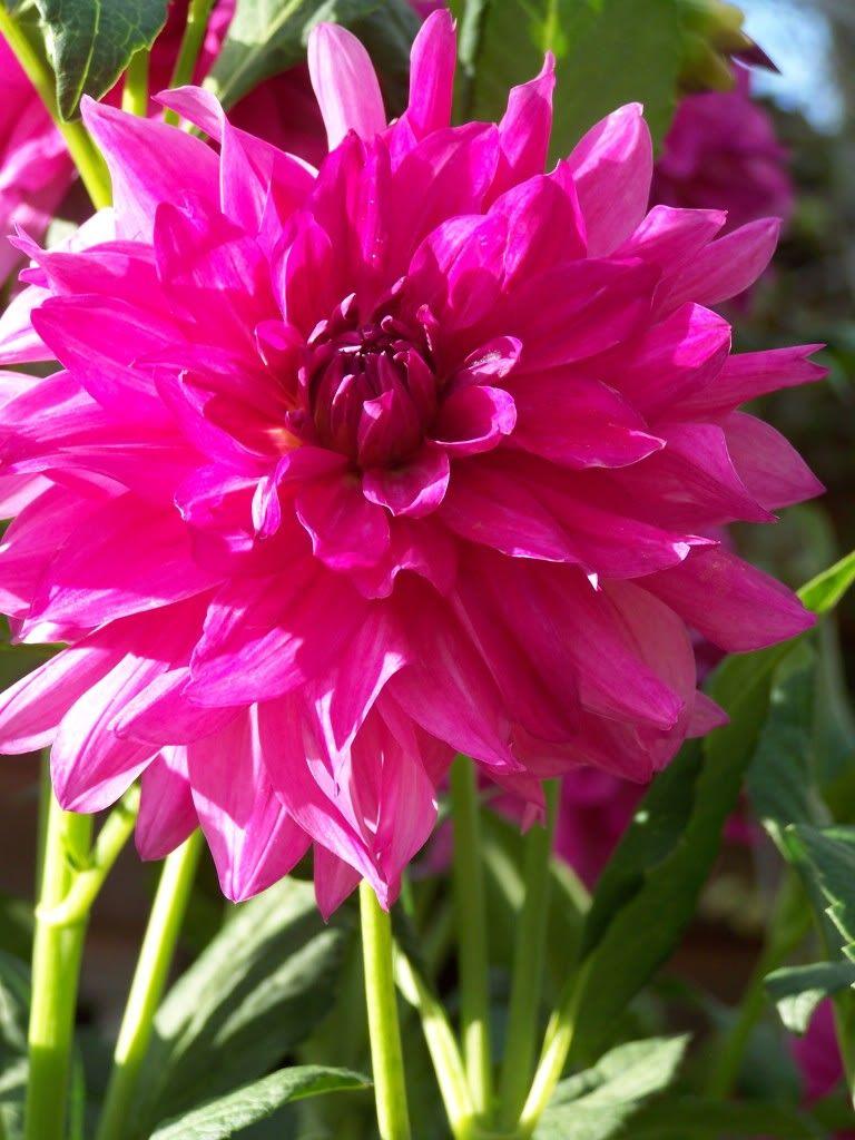 Dahlia I M A Hottie Dahlia Beautiful Flowers Flowers