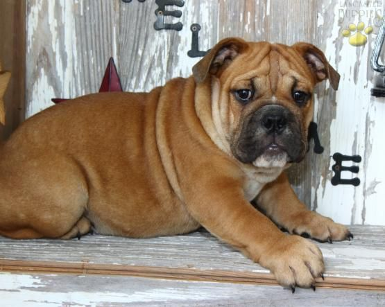 Buster English Bulldog Puppy For Sale In Kokomo In Lancaster