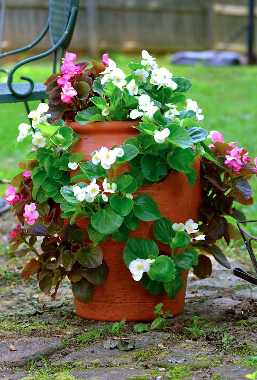 Begonias Planted In A Strawberry Jar By Patty Ghering With Images