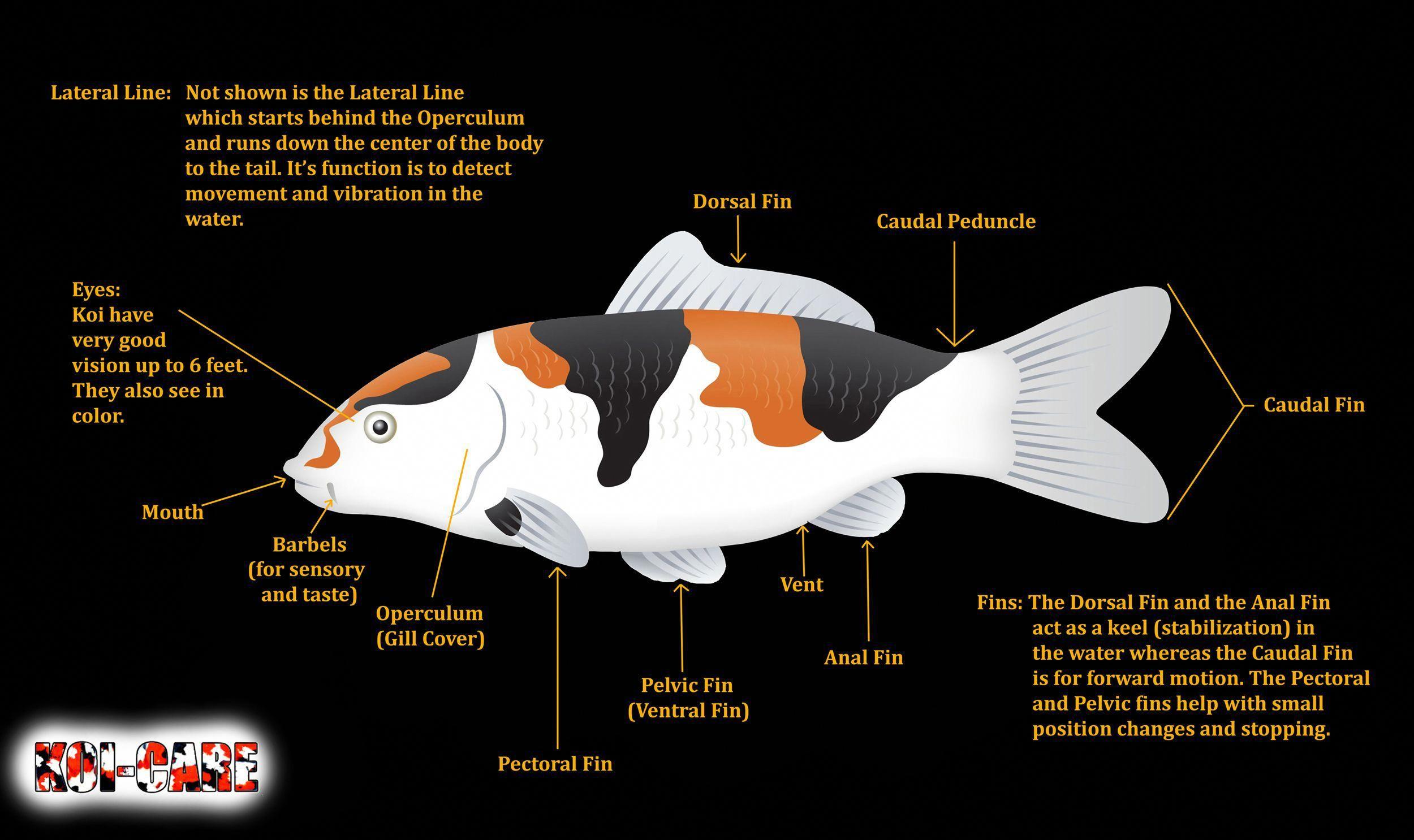 koi fish skeleton anatomy diagram koi fish external anatomy diagram koifishponds [ 2500 x 1486 Pixel ]