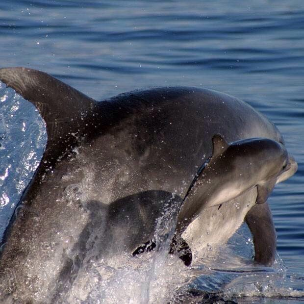 Mommy And Baby Dolphin Baby Dolphins Dolphins Animals