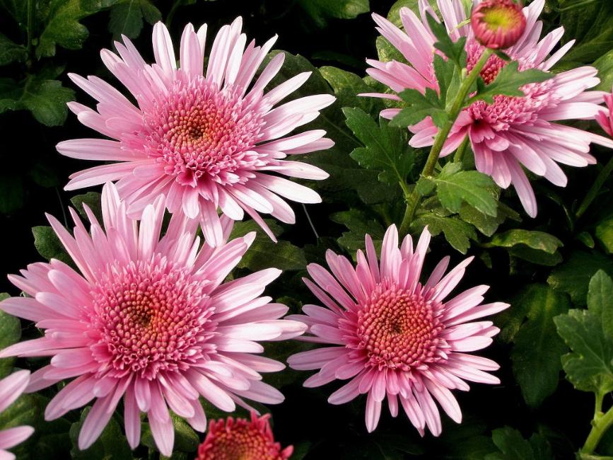 Pin by SJ Rzeminski on flowers Aster flower, Flowers