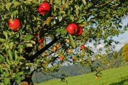 Obstbäume schneiden - So wird's gemacht