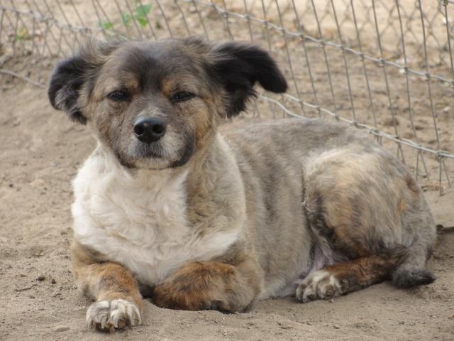 Adopt Fluffy Benton On Sheep Dog Puppy Shetland Sheepdog